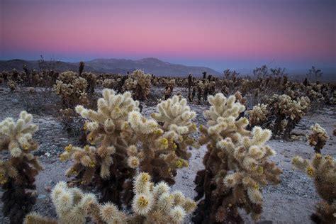Cholla Cactus Garden by Cholla Cactus Garden Where It All Began In The Field