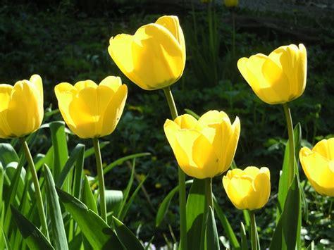 info lengkap mengenai bunga tulip selingkarancom
