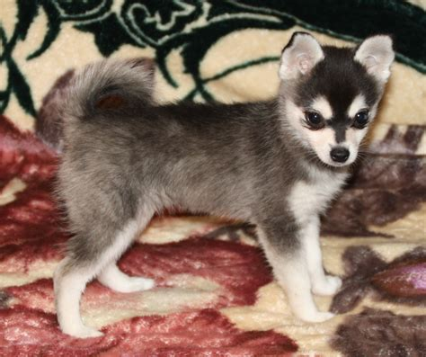 alaska rescue alaskan klee breed information and facts breeds picture