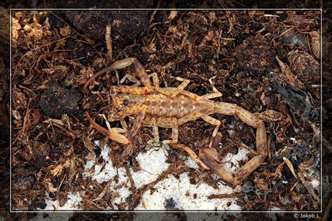 Isometrus Maculatus isometrus maculatus skorpiony pl