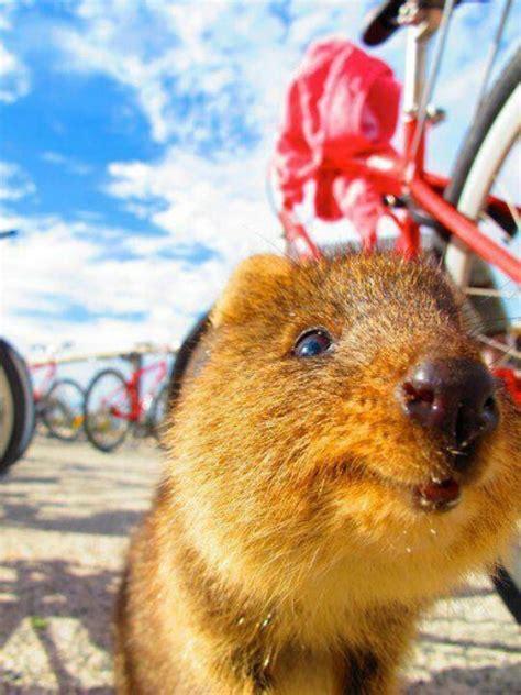 google images quokka 157 b 228 sta bilderna om quokka p 229 pinterest australien