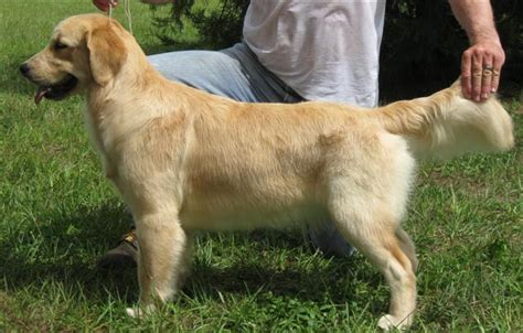 how much exercise should a golden retriever get golden retriever at 6 months dogs in our photo