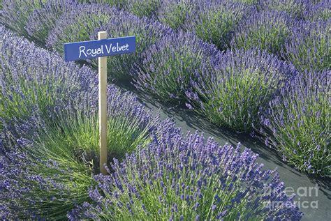 royal velvet lavender photograph by richard and ellen thane