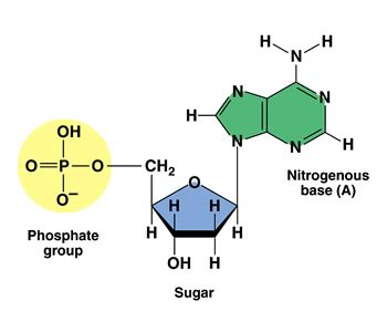 carbohydrates nucleotides carbohydrate and custom nucleotides synthesis