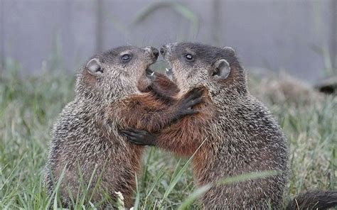 groundhog day st louis zoo 78 best images about i groundhogs on