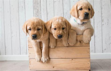 golden retriever screensaver wallpaper golden retriever golden retriever trio dogs box puppies images