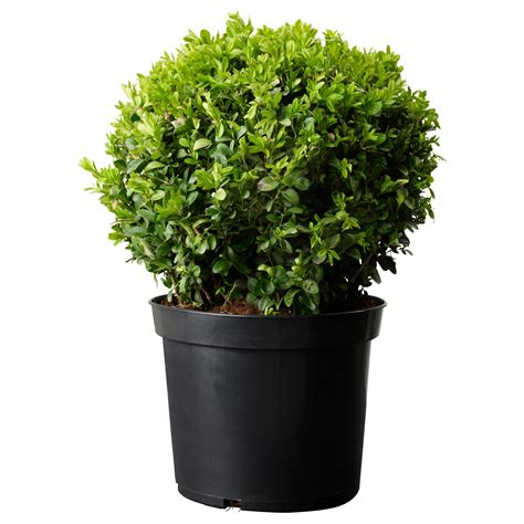ikea plants buxus sempervirens potted plant box ball 24 cm ikea