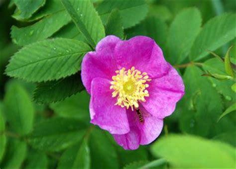 wild prairie rose iowa s state flower serious iowa wild prairie rose 50 state flowers 1 pinterest