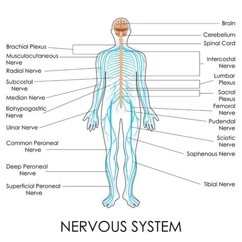 diagram of nerves in back neuropathic drugs and medications treating back and neck