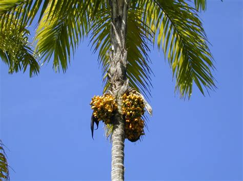 palm tree fruit name bactris gasipaes wikispecies