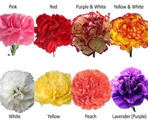 carnation color essential carnations collection