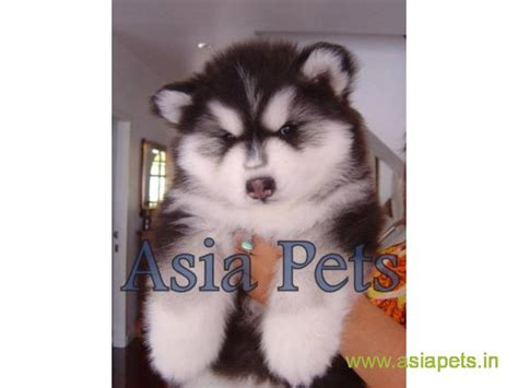 pomeranian puppy for adoption in delhi images of pomeranian in india puppy for sale delhi breeds picture