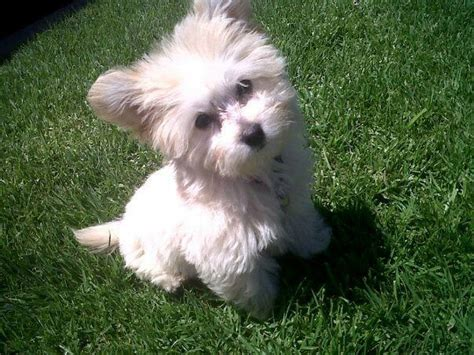maltese and pomeranian 17 best ideas about pomeranian mix on dogs adorable puppies and