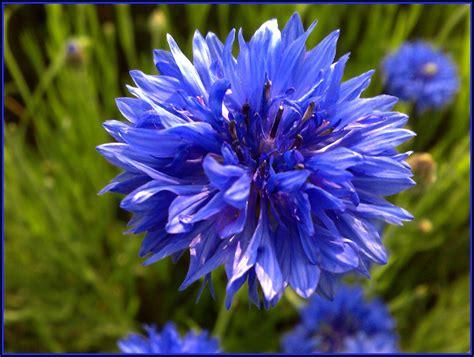 fiordaliso fiore foto ad ogni stato il suo fiore