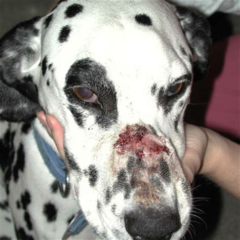 blastomycosis in dogs i took my jilly to the doctor two days ago the vet advised me that she has an uri