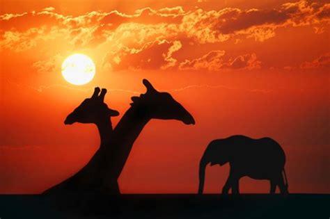 giraffe sunset silhouette fine art print  designpics