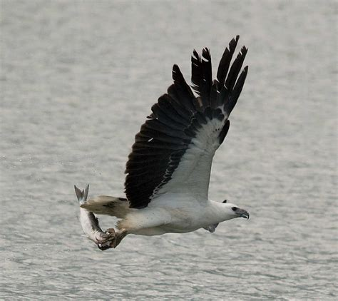 Sea-Eagles - the food they eat