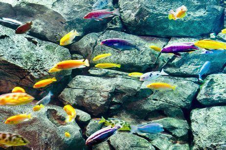 los peces de la variedades de los peces ciclidos canalhogar