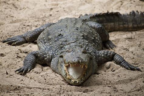 Alligator Black alligator reptile hd photos wallpapers