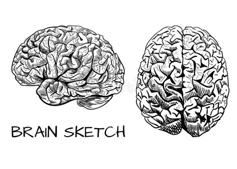 brain sketch vector colored human brain line