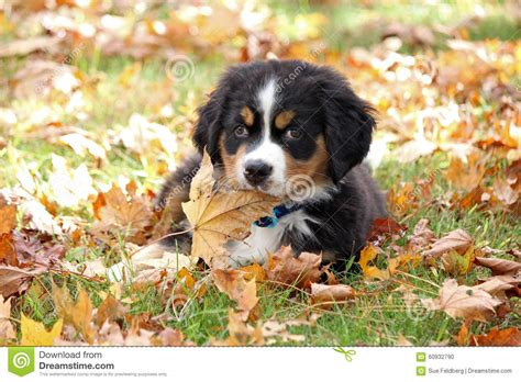 puppy fell on puppy in fall stock photo image of home canine 60932790