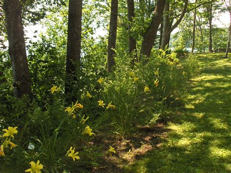 Daylilies For Shade Pale Daylilies And Shade Tolerant Grasses The