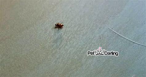 como eliminar las pulgas en casa eliminar pulgas en casa paso a paso estos m 233 todos funcionan