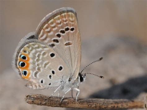 freyeria trochylus wikipedia
