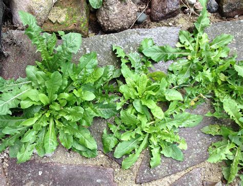 common backyard weeds common garden weeds the old farmer s almanac