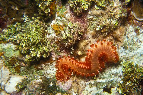 bristle worm image search results
