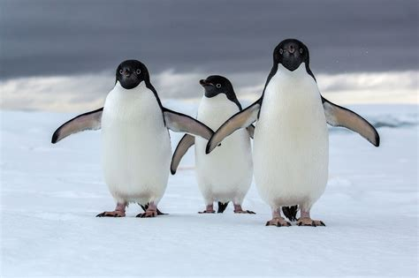 Penguin S antarctica could lose most of its penguins to climate change