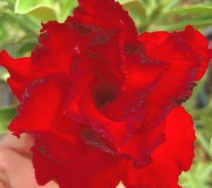 Benih Bibit Bunga Adenium 038 jual 5 benih biji bibit adenium obesum dangchoklarp di lapak seeds shopping redplum