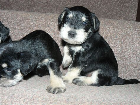 schnauzer puppies for sale miniature schnauzer puppies for sale ilminster somerset pets4homes