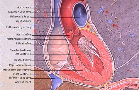 coronal section of heart pin heart coronal section on pinterest