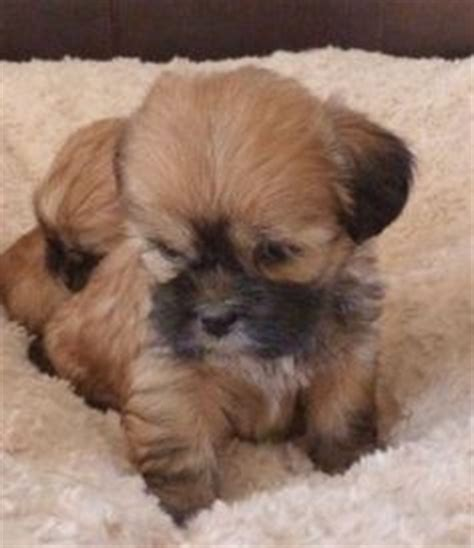 lhasa shih tzu mix for sale yorki apso puppy yorkie and lhasa mix my next wendi yorkie
