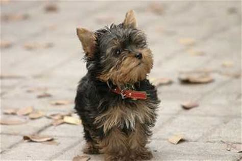 hypoglycemia in yorkie puppies hypoglycemia breed best pet home remedies