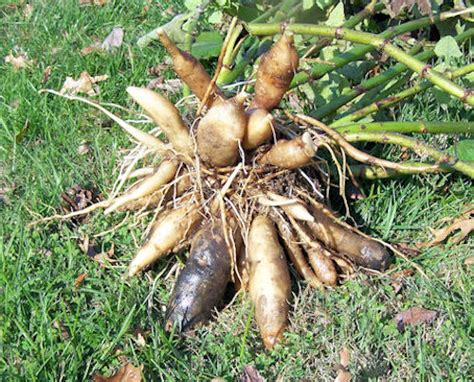 yacon root vegetable i dig yacon our happy acres