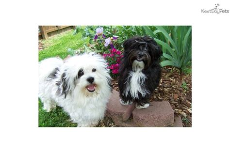 havanese standard akc havanese breed standard breeds picture