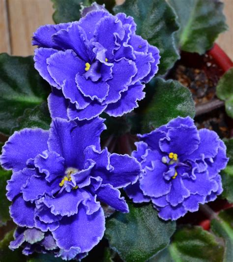 african violet 1000 images about african violets on pinterest the