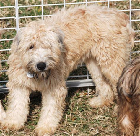 rottweiler rescue new york adoptions new york alaskan malamute rescue autos post