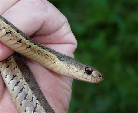 Garden Snake Bites Hill Shepherd Common Garter Snake