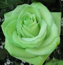 Light Green Flowers - light green rose gardening flowers shrubs pinterest