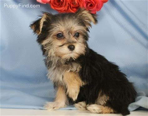 havanese mixed with yorkie 1000 images about havashire havanese on yorkie abyssinian cat