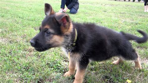 german sheppard puppies german shepherd puppy barking