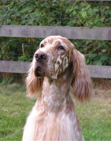 48 best images about english setter on pinterest 48 best setter ridge english setters images on pinterest
