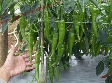 1kg Pupuk Sp Superposfot budidaya cabe dan tomat di kab bengkayang kalbar agrokompleks mmc