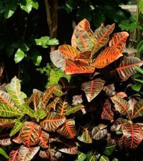 care  croton plants lots  sun  soil