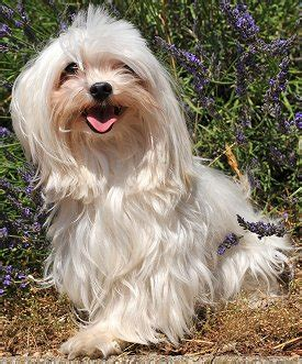 havanese breed temperament havanese what s about em what s bad about em
