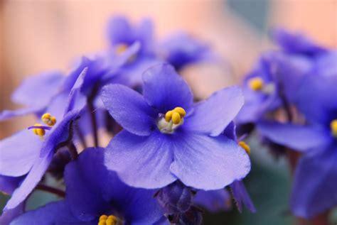 le violette fiori melenella violette
