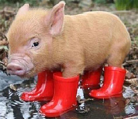 pygmy pigs tiny cute  ready   closeup baby